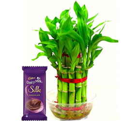 Special Combo Pack of Lucky Bamboo Plant N Cadbury Silk Chocolate Bar