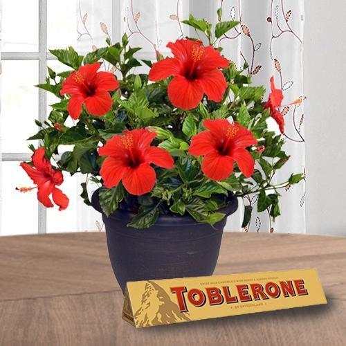 Outdoor Selection of Hibiscus Plant with Chocolate