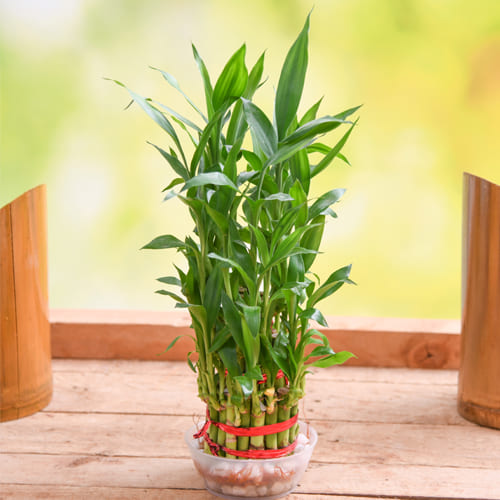 Charming Indoor Gift of 2 Tier Lucky Bamboo Plant in Glass Pot<br>