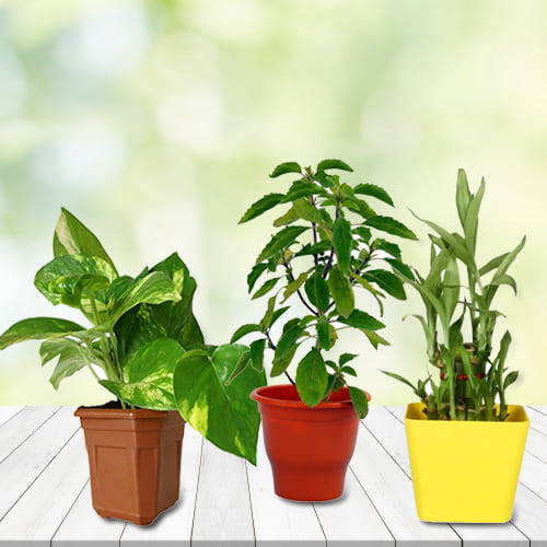 Good Luck Selection of 3 Indoor Plants in Decorative Plastic Pots<br><br><br>