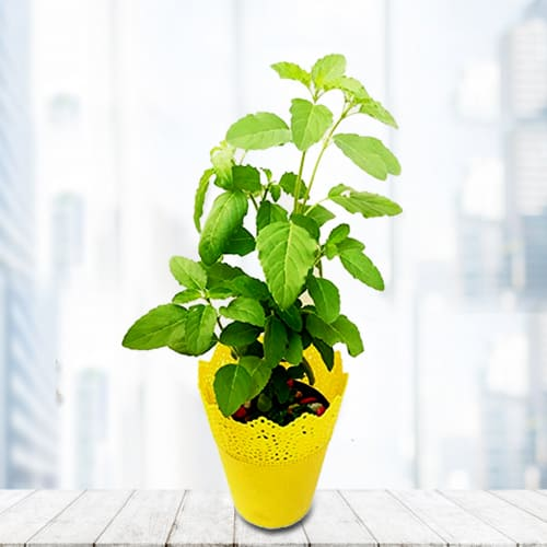 Gorgeous Gift of Holy Tulsi Plant in a Wonderful Plastic Pot