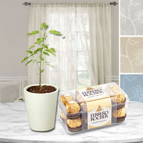 Captivating Present of Holy Tulsi Plant with Ferrero Rocher Chocolate Box