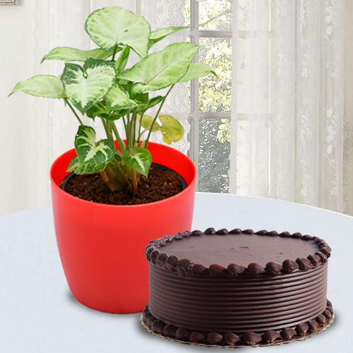 Good Luck Indoor Plant with Chocolate Cake